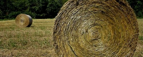 round hemp fiber bales in a field